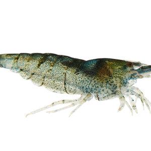 Amano Shrimp RG