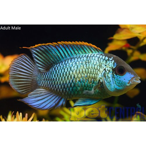 "Electric Blue Acara LG (5-6"")"