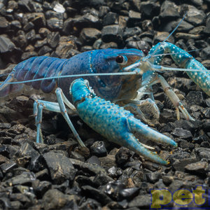 Lobster Blue XXXL