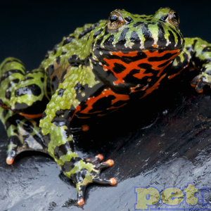 """Firebelly Toad MD (2-3"""")"""