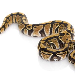 Ball Python Adult LG (3-5')