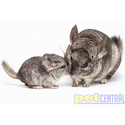 Grey Chinchilla Female Baby (Around 12 Weeks)