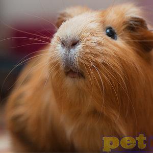 Adult Guinea Pig