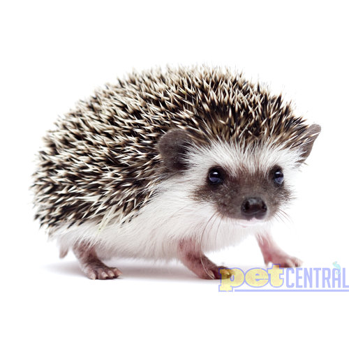 Salt & Pepper Hedgehog