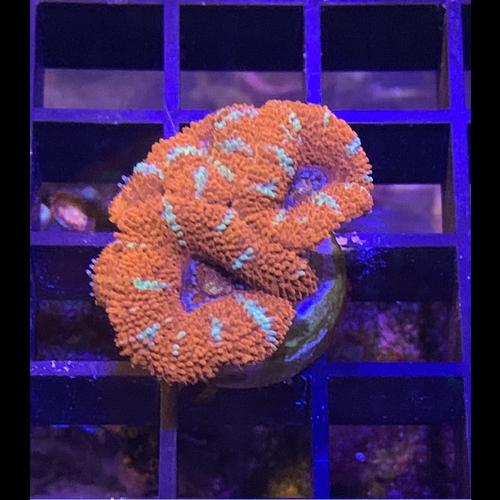 Orange Acan Frag (1-3HD)