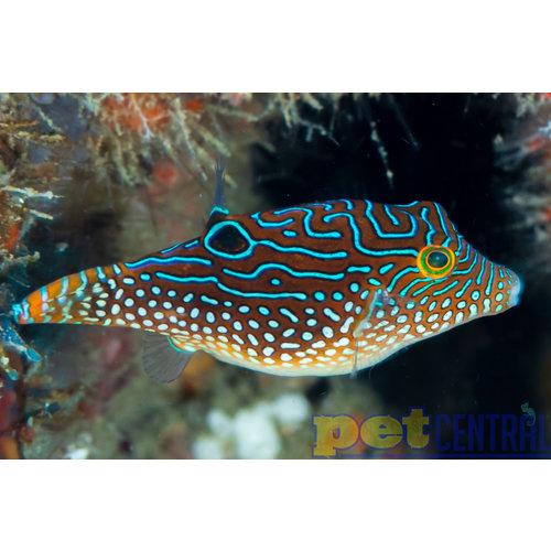 Fiji Blue Jewel Puffer (Fiji) MD