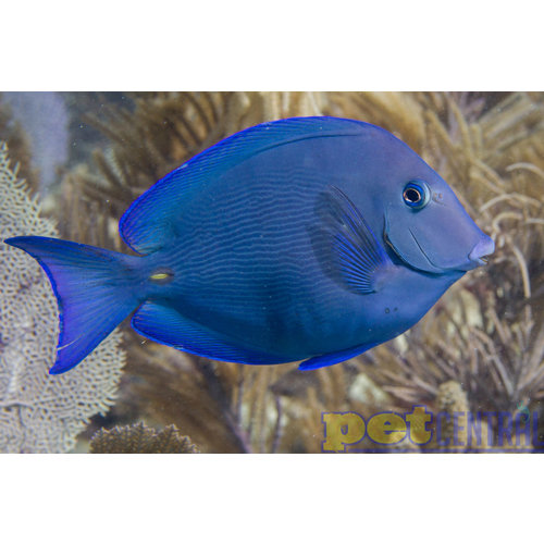 Atlantic Blue Tang SM