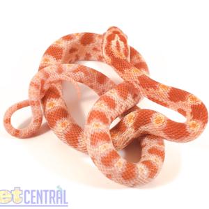 Albino Corn Snake Baby