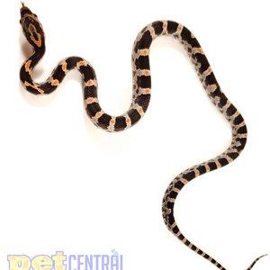 Okeetee Corn Snake Baby