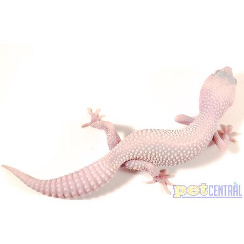 "Blazing Blizzard Leopard Gecko Sub Adult (6-8"")"