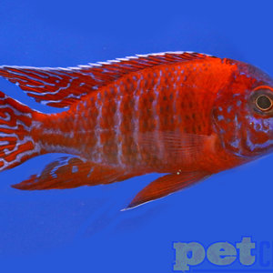 Ruby Red Peacock Cichlid Male LG