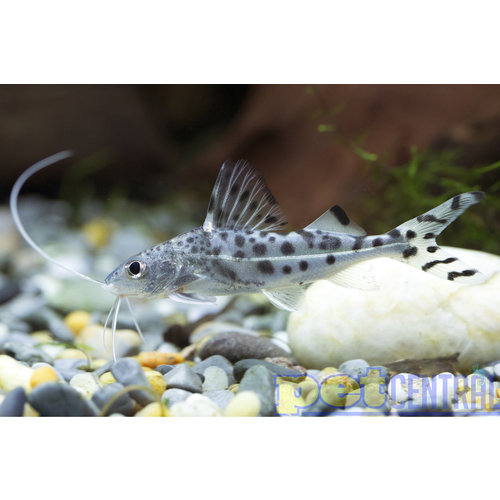 Polkadot Pictus Catfish RG