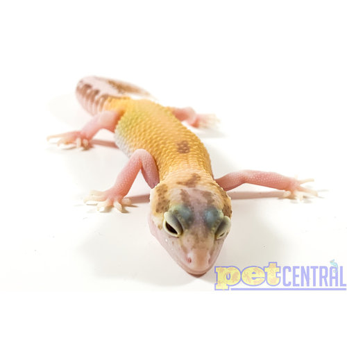 Raptor (Red Eyes) Leopard Gecko Juvenile