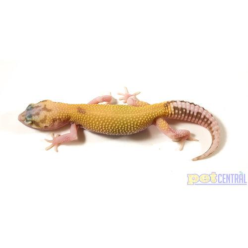 Raptor (Red Eyes) Leopard Gecko Juvenile