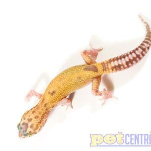 Raptor (Snake Eyes) Leopard Gecko Juvenile