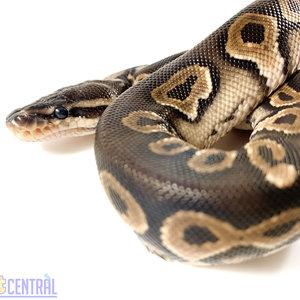 (WYSIWYG 12704) Fire Cinnamon Yellow Belly Ball Python Baby