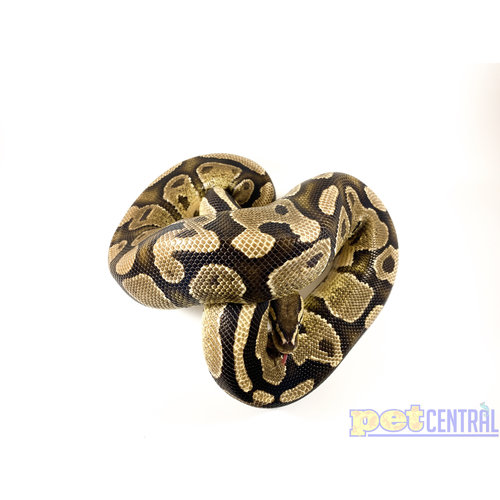 WYSIWYG 12869 Fire Ball Python Adult 3'