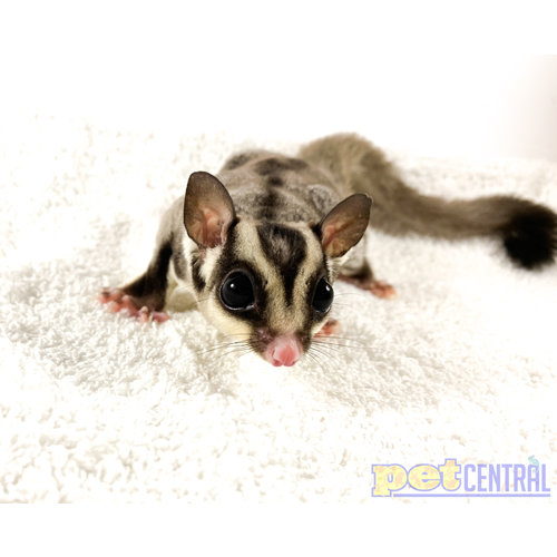WYSIWYG 12870 Sugar Glider Male Adult