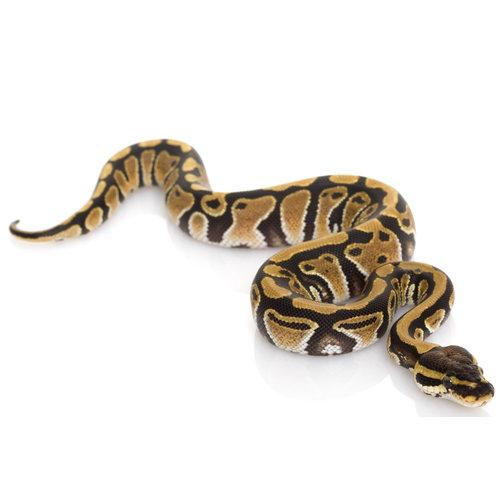 USA Captive Bred Ball Python Baby