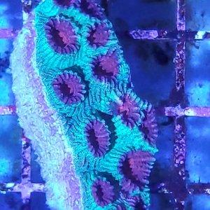 "Australian (WYSIWYG 12857) Super Red Eye Favia Moonstone Colony SM (2-3"")"