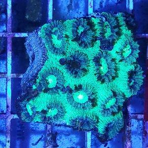"(WYSIWYG 12863) Super Green Favia Moonstone ; Australian SM (2.5-3.5"")"