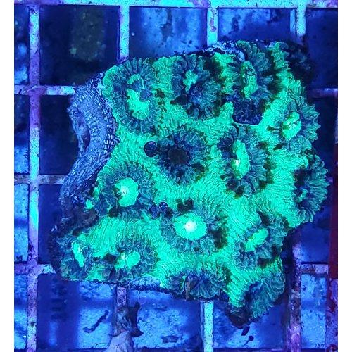 "WYSIWYG 12863 Super Green Favia Moonstone ; Australian SM (2.5-3.5"")"