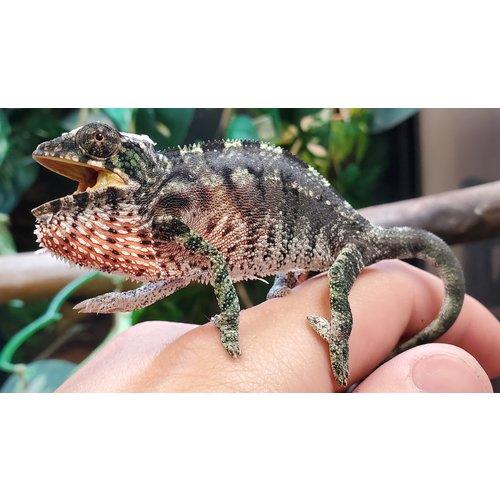 WYSIWYG 12915 Ambilobe Panther Chameleon SM