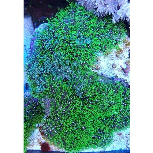 "(WYSIWYG 13005) Metallic Green Star Polyps (5"")"