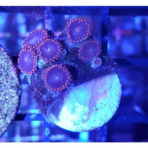 Orange Rim w/ Purple Center Zoanthid Frag (3-5P)