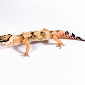 Jungle Designer Leopard Gecko Juvenile