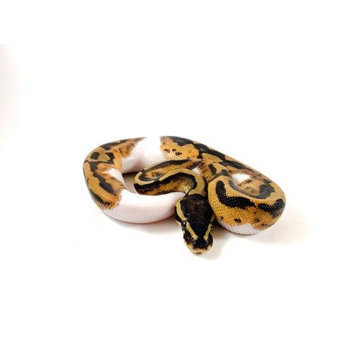 (WYSIWYG 13020) Medium - High White Pied Ball Python Baby