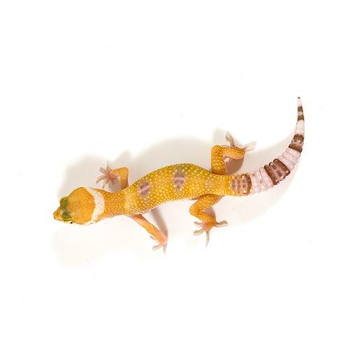 Hybino Leopard Gecko Juvenile
