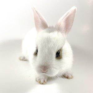 Netherland Dwarf Rabbit Baby (8-14 Weeks)