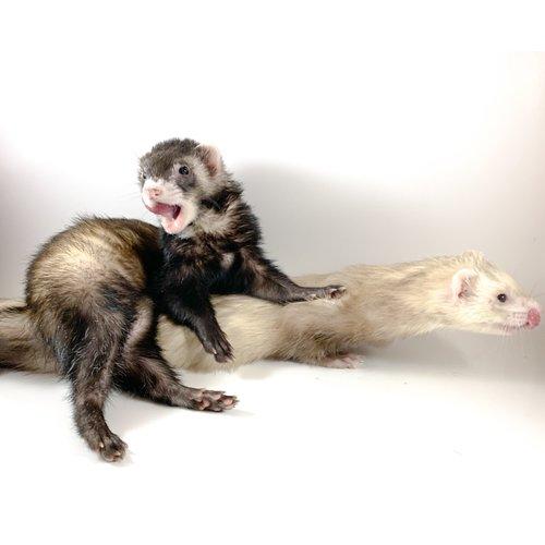 (WYSIWYG 13025) Ferret Pair (Brown Male - Sebastian) (Male - Griffen)