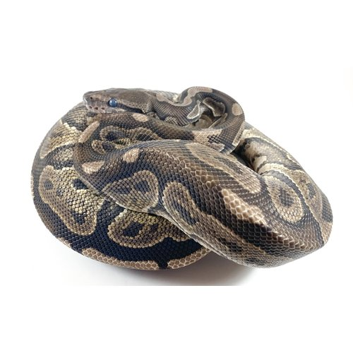(WYSIWYG 13087) Blackhead Ball Python Male Adult (2.5-3')