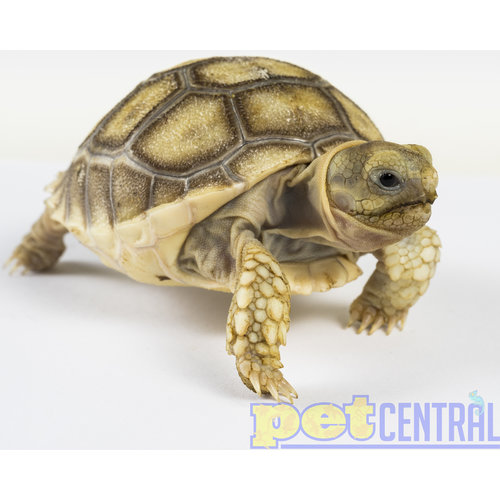 "Sulcata Tortoise Juvenile (4-5"")"
