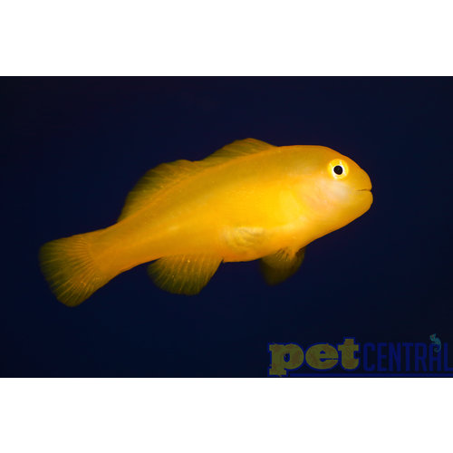 """Yellow Clown Goby MD (1-1.75"""")"""