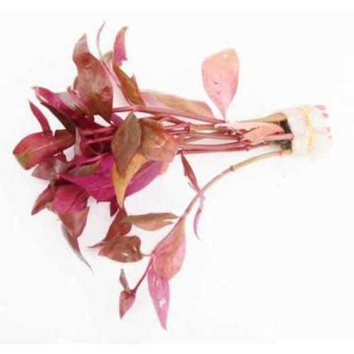 'Alternanthera Lilacina' Bunch RG