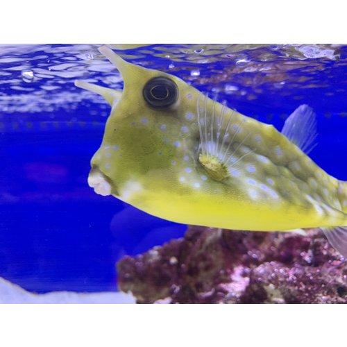 "(WYSIWYG 13129) Longhorn Cowfish Jumbo (10-12"")"