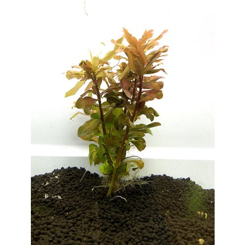 'Ludwigia Repens' Bunch RG