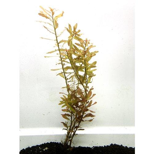 Marsh Seedbox 'Ludwigia Palustrus' Bunch RG
