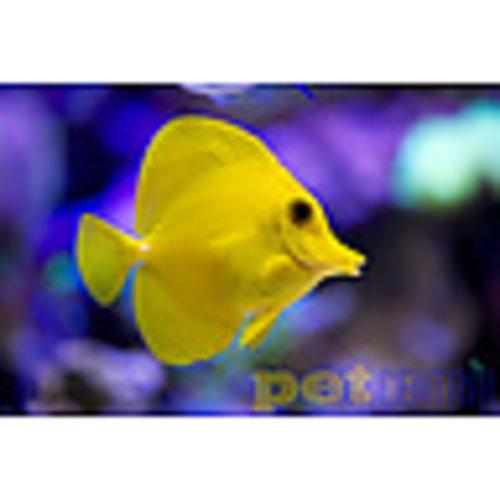 Yellow Tang LG