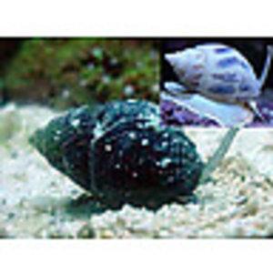 Nassarius Snail LG