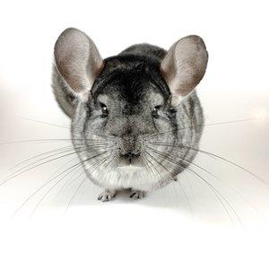 (WYSIWYG 13118) Gray Chinchilla Male 2 Years Old