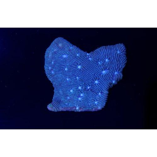 (WYSIWYG 13193) Metallic Blue Lythophyllon Chalice ; Australian MD