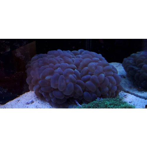 Australian (WYSIWYG 13279) Bubble Coral SHOW