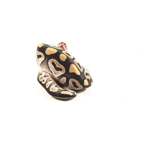 Mojave Ball Python Baby