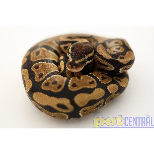 Ball Python Juvenile SM