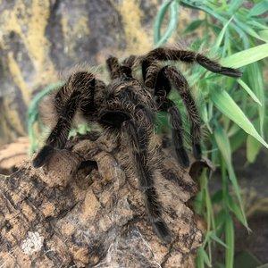Honduran Curly Hair Tarantula - B. Albo MD