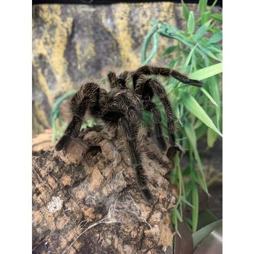 Honduran Curly Hair Tarantula Adult